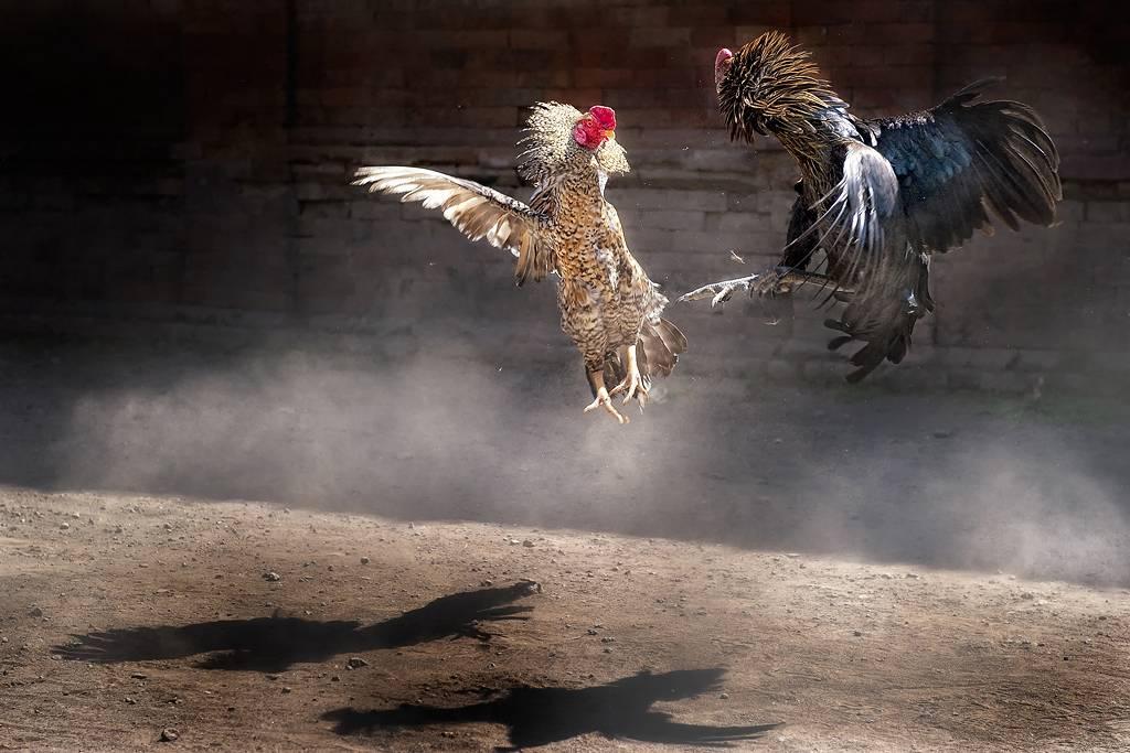 Jenis Pertaruhan yang Paling Menguntungkan dalam Permainan Judi Sabung Ayam S128