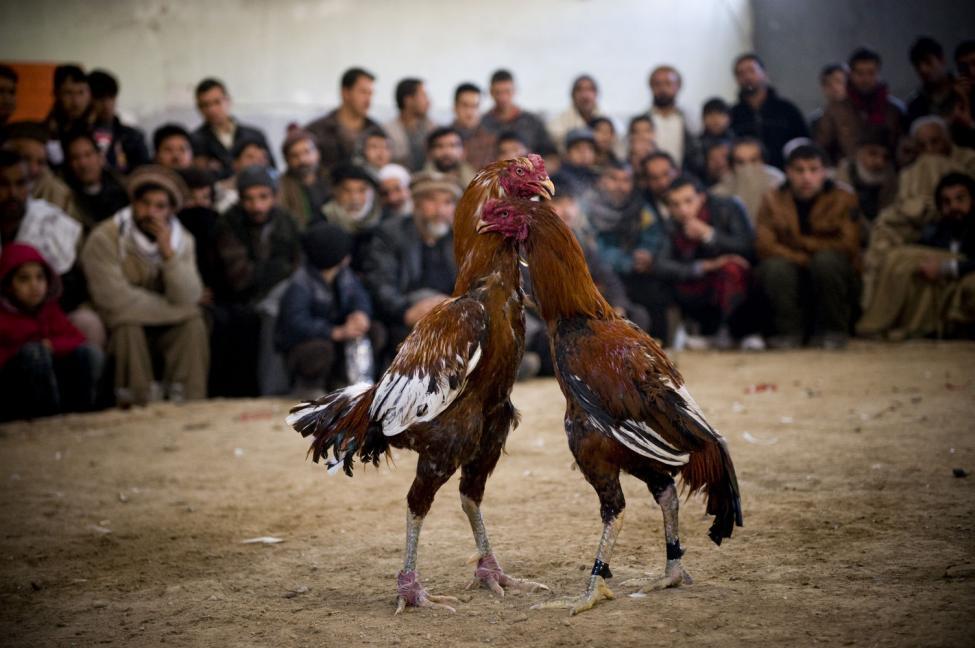 Keuntungan Bermain di Situs Judi Sabung Ayam Online Terbaik